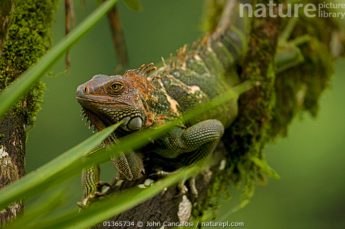 Green / Common Iguana (Iguana iguana) on branch. Costa Rican tropical rainforest.  ,  CENTRAL AMERICA,CLIMBING,COSTA RICA,IGUANAS,IGUANIDAE,LIZARDS,NP,REPTILES,RESERVE,TROPICAL RAINFOREST,VERTEBRATES,National Park,,Lizards,,,Lizards,  ,  John Cancalosi