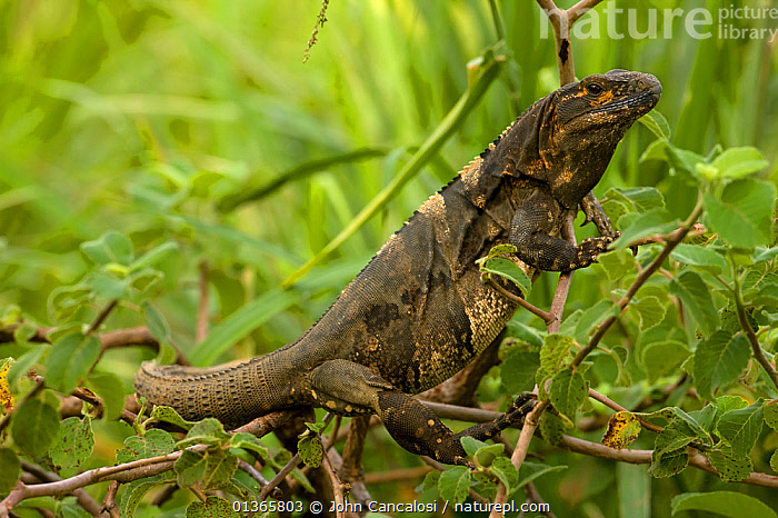 Spiny-tailed Iguana (Ctenosaura similis). Santa Rosa National Park tropical dry forest, Costa Rica.  ,  BLACK IGUANA,CENTRAL AMERICA,COSTA RICA,IGUANAS,LIZARDS,NP,REPTILES,RESERVE,TROPICAL DRY FOREST,VERTEBRATES,National Park,,Lizards,,,Lizards,  ,  John Cancalosi