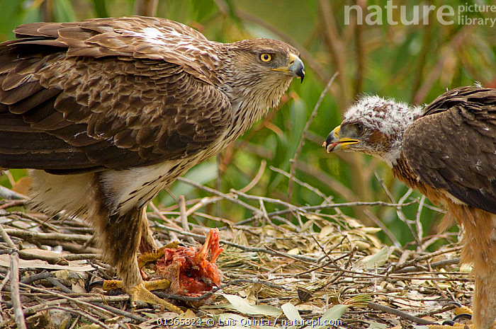 Bonelli's eagle (Aquila fasciata) female feeding chick at nest, Alentejo, Portugal, April.  ,  BABIES,BEHAVIOUR,BIRDS,BIRDS OF PREY,CHICKS,CLOSE UPS,EAGLES,EUROPE,FEEDING,FEMALES,JUVENILE,MOTHER BABY,NESTS,PORTUGAL,VERTEBRATES,Raptor  ,  Luis Quinta