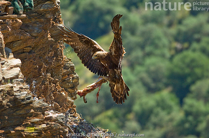 Golden eagle (Aquila chrysaetos) female flying to nest with prey, Alentejo, Portugal, May.  ,  ACTION,BEHAVIOUR,BIRDS,BIRDS OF PREY,CLIFFS,EAGLES,EUROPE,FEMALES,FLYING,LANDING,NESTS,PORTUGAL,PREDATION,PREY,VERTEBRATES,Geology,Raptor  ,  Luis Quinta