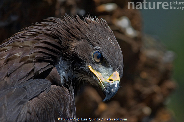 Golden eagle (Aquila chrysaetos) female juvenile, portrait, Alentejo, Portugal, June.  ,  BEAK,BIRDS,BIRDS OF PREY,CLOSE UPS,EAGLES,EUROPE,EYES,FEMALES,JUVENILE,PORTRAITS,PORTUGAL,PROFILE,VERTEBRATES,Raptor  ,  Luis Quinta
