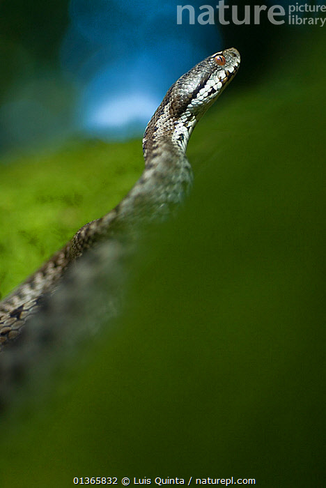 Baskian viper (Vipera seoanei) Geres National Park, Portugal, September.  ,  catalogue4,close up,curiosity,direction,EUROPE,Geres National Park,menacing,MOVEMENT,Nobody,NP,on the move,one animal,PORTUGAL,REPTILES,RESERVE,side view,Snake,SNAKES,VERTEBRATES,VERTICAL,Viperidae,VIPERS,WILDLIFE,National Park  ,  Luis Quinta