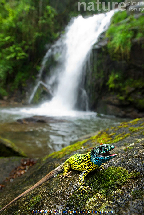 Schreiber's lizard (Lacerta schreiberi) adult male on river bank with waterfall in background, Geres National Park, Portugal, May., ADULT,BLUE,COLOURFUL,FORESTS,HABITAT,LANDSCAPES,LIZARDS,MALES,MOUNTAINS,NP,PORTRAITS,PORTUGAL,REPTILES,RESERVE,RIVERS,SAND LIZARDS,VERTEBRATES,VERTICAL,WATER,WATERFALLS,YELLOW,National Park,Europe, Luis Quinta