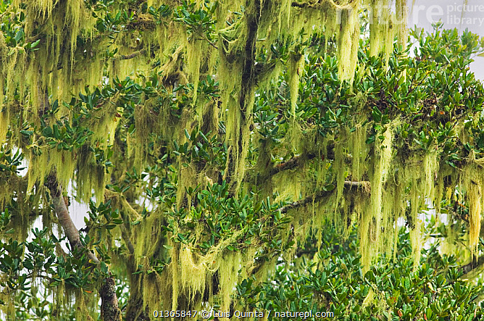 Lichen covering branches in Laurisilva Forest, Madeira Island, April 2009.  ,  ATLANTIC,EUROPE,FORESTS,LICHENS,MADEIRA,MOUNTAINS,PLANTS,PORTUGAL,RESERVE,TREES,Marine  ,  Luis Quinta