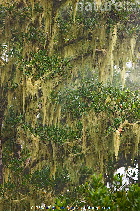 Lichen covering branches in Laurisilva Forest, Madeira Island, April 2009.  ,  ATLANTIC,EUROPE,FORESTS,LICHENS,MADEIRA,MOUNTAINS,PLANTS,PORTUGAL,RESERVE,TREES,VERTICAL,Marine  ,  Luis Quinta