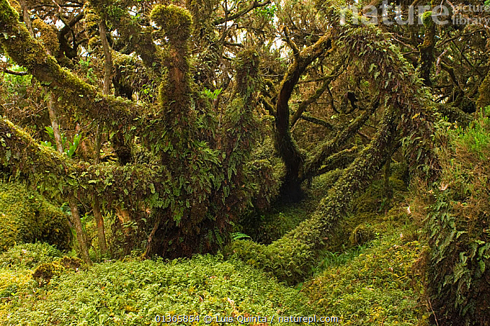 Laurisilva Forest, trees covered in lichen / moss at Terceira Island, Azores, August 2011.  ,  ATLANTIC,ATLANTIC ISLANDS,AZORES,EUROPE,FORESTS,LICHEN,LUSH,MOSS,PLANTS,PORTUGAL,RESERVE,SUB TROPICAL,TREES,Marine  ,  Luis Quinta