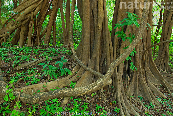 Tree roots in Amazon forest, Rio Negro, Brazil, December 2009.  ,  AMAZON,BRAZIL,FORESTS,LEAVES,RESERVE,RIVERS,ROOTS,TREES,TROPICAL RAINFOREST,TRUNKS,WETLANDS,PLANTS  ,  Luis Quinta