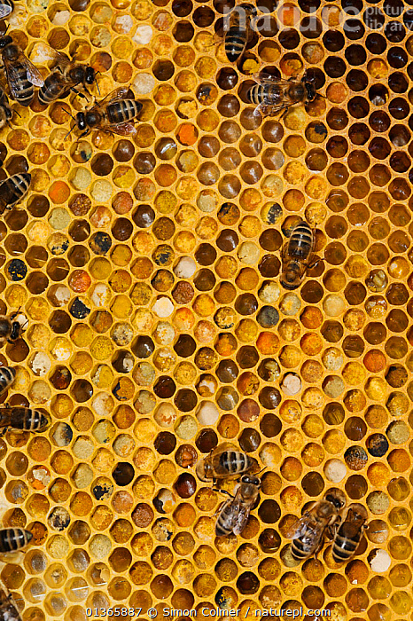 Honey bee (Apis mellifera) workers on comb with capped honey cells and pollen store cells, note the different colour pollen from different flowers, Sussex, UK  ,  ABSTRACT,APIDAE,ARTHROPODS,ARTY SHOTS,BEE HIVE,BEEKEEPING,BEES,COLONIES,COLOURFUL,COMB,EUROPE,GROUPS,HIVES,HONEY,HYMENOPTERA,INSECTS,INVERTEBRATES,PATTERNS,UK,VERTICAL,YELLOW,United Kingdom ,honeybee,honeybees  ,  Simon Colmer