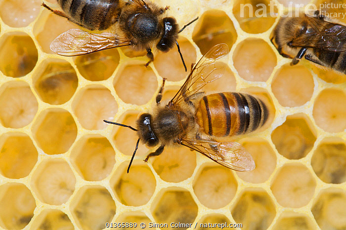 Honey bee worker (Apis mellifera) tending to eggs,