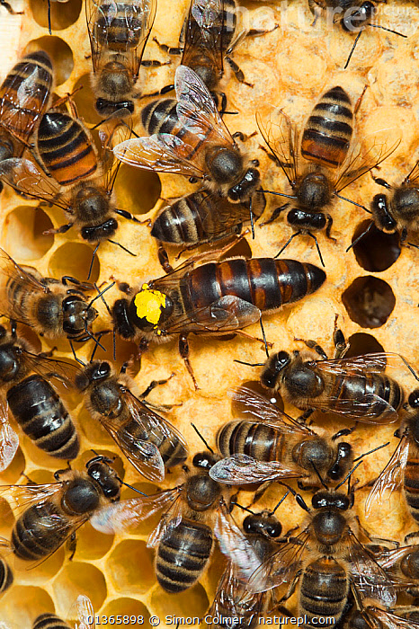 Italian Honey bee queen (marked) and hybrid workers (Apis mellifera ligustica) Sussex, UK  ,  APIDAE,ARTHROPODS,BEE HIVE,BEEKEEPING,BEES,COLONIES,COMB,EUROPE,FEMALES,GROUPS,HIVES,HONEY,HYMENOPTERA,INSECTS,INVERTEBRATES,SOCIAL BEHAVIOUR,UK,VERTICAL,United Kingdom ,honeybee,honeybees  ,  Simon Colmer