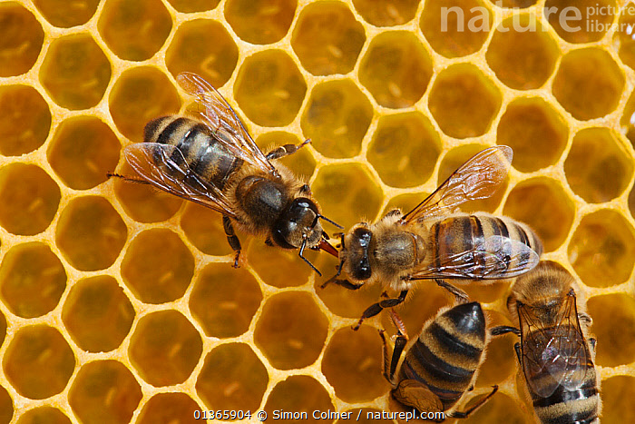 Honeybee workers exchanging food - known as trophallaxis (Apis mellifera) Sussex, UK, Apidae,ARTHROPODS,BEE HIVE,BEEKEEPING,BEES,catalogue4,close up,colonies,comb,COOPERATION,EUROPE,exchanging,food,four animals,GROUPS,hives,honey,honeycomb,HYMENOPTERA,INSECTS,INVERTEBRATES,Nobody,social behaviour,Sussex,trophallaxis,UK,WILDLIFE,winged,worker bee,United Kingdom ,honeybee,honeybees, Simon Colmer