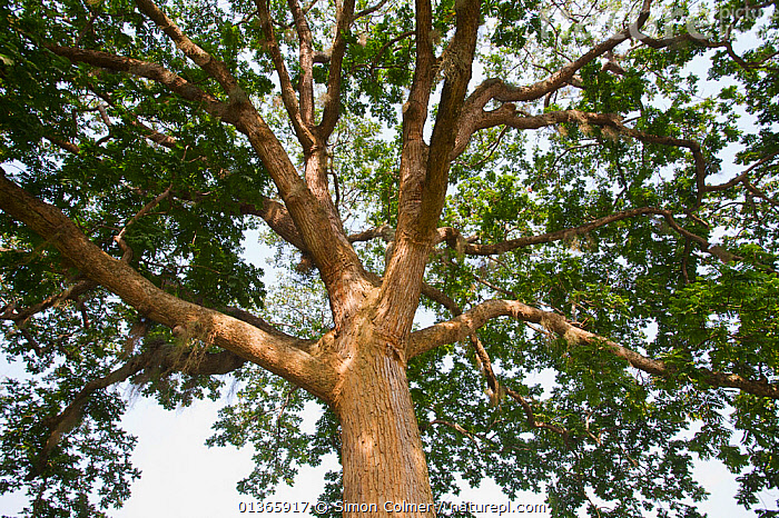 Looking up through the canopy of an Incense tree (Canarium schweinfurthii)  ,  BRANCHES,BURSERACAE,CANOPY,LOW ANGLE SHOT,MONOCOTYLEDONS,PLANTS,TREES,TRUNKS  ,  Simon Colmer