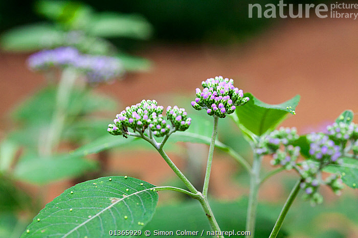 Flowers and leaves of (Bothriocline tomentosa) medicinal plant used to cure diarrhoea and stop vomiting  ,  ASTERACEAE,CURE,DICOTYLEDONS,FLOWERS,HERBAL,INTERESTING,LEAVES,MEDICINAL,MEDICINE,PLANTS,SCIENTIFIC,TRADITIONAL,TREATMENT  ,  Simon Colmer