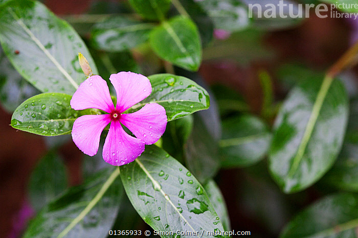 Madagascar periwinkle (Catharanthus or Vinca roseus) Medicinal plant: used to cure hypertension, kidney failure, malaria and diabetes. Used in the treatment of leukemia.  ,  APOCYNACEAE,CURE,DICOTYLEDONS,FLOWERS,HERBAL,INTERESTING,LEAVES,MEDICINAL,MEDICINE,PINK,PLANTS,SCIENTIFIC,TRADITIONAL,TREATMENT  ,  Simon Colmer