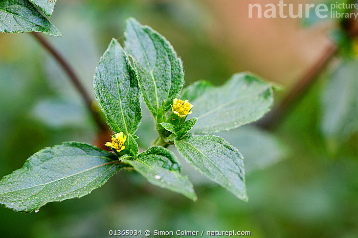 Common St. Pauls wort (Sigesbeckia orientalis)