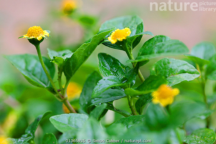 Flowers and leaves of (Spilanthes mauritiana) a medicinal plant with a high anti-fungal potency  ,  ACMELLA,ASTERACEAE,CURE,DICOTYLEDONS,FLOWERS,HERBAL,INTERESTING,LEAVES,MEDICINAL,MEDICINE,PLANTS,SCIENTIFIC,TRADITIONAL,TREATMENT,YELLOW  ,  Simon Colmer