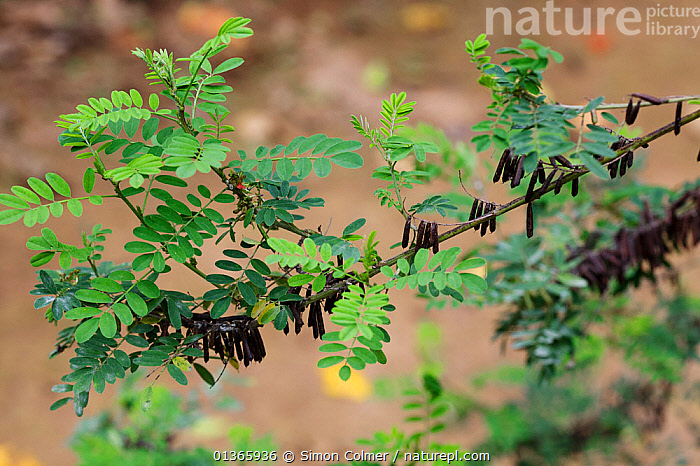 Indigo (Indigofera ambelacensis) Medicinal plant: used in Uganda to cure worms  ,  CURE,DICOTYLEDONS,FABACEAE,HERBAL,INTERESTING,LEAVES,MEDICINAL,MEDICINE,PLANTS,SCIENTIFIC,TRADITIONAL,TREATMENT  ,  Simon Colmer