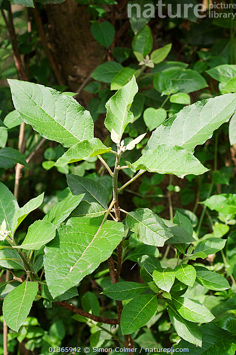 (Vernonia amygdalina) commonly called bitter leaf because of its bitter taste. In the wild, chimpanzees have been observed ingesting leaves to counter parasitic infections. Medicinal plant: used for worm infections as well as many other illnesses  ,  ASTERACEAE,CURE,DICOTYLEDONS,HERBAL,INTERESTING,MEDICINAL,MEDICINE,PLANTS,SCIENTIFIC,TRADITIONAL,TREATMENT,VERTICAL  ,  Simon Colmer