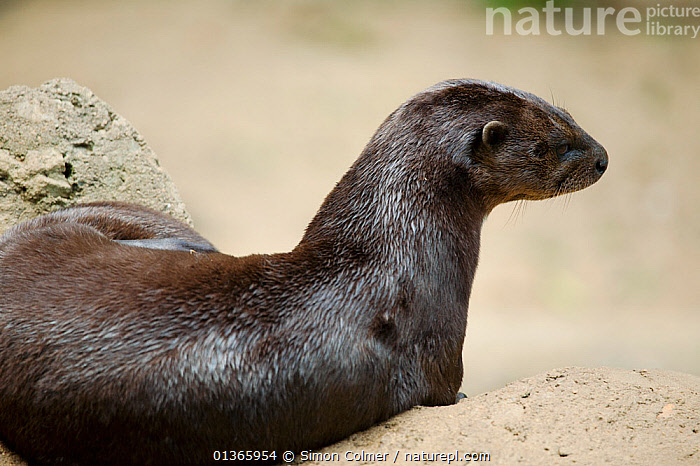 Spotted-necked otter (Lutra / Hydrictis maculicollis) from sub-saharan Africa, Captive  ,  AFRICA,CARNIVORES,MAMMALS,MUSTELIDAE,OTTERS,VERTEBRATES,Mustelids  ,  Simon Colmer