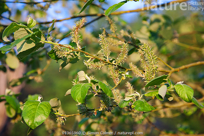 Pussy willow (Salix caprea) with female catkins in spring, Eridge Rocks SSSI, Sussex, UK  ,  CATKINS,DICOTYLEDONS,LEAVES,PLANTS,SALICACEAE,SPRING,UK,Europe,United Kingdom  ,  Simon Colmer