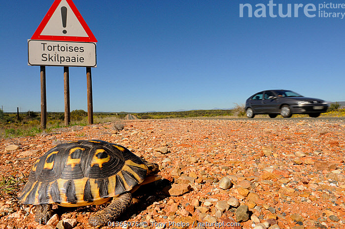 Angulate tortoise (Chersina angulata) adult male crossing road with tortoise traffic warning sign and car passing on Route 62 near Oudtshoorn, Little Karoo, Western Cape, South Africa  ,  AFRICA,CARS,CHELONIA,CHELONIAN,DANGER,DANGEROUS,INFORMATION,MALES,PROFILE,REPTILES,ROADS,SIGNS,SOUTH AFRICA,SOUTHERN AFRICA,TORTOISES,TRAFFIC,VEHICLES,VERTEBRATES  ,  Tony Phelps