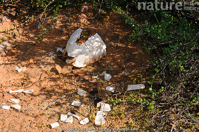 Angulate tortoise (Chersina angulata) remains of adult probably predated  by cape crow or white necked raven, Oudtshoorn, Little Karoo, Western Cape, South Africa  ,  AFRICA,CHELONIA,PREDATION,REPTILES,SHELLS,SOUTH AFRICA,SOUTHERN AFRICA,TORTOISES,VERTEBRATES,Behaviour  ,  Tony Phelps