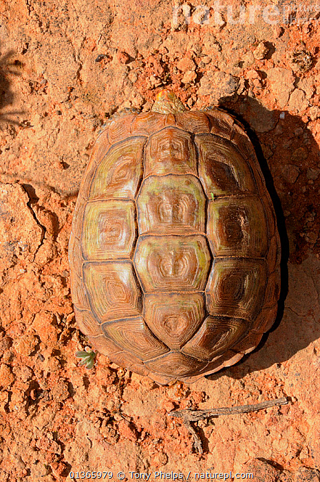 Parrot-beaked or common padloper (Homopus areolatus) dorsal view of carapace of adult male. Oudtshoorn, Little Karoo, Western Cape, South Africa.  ,  AERIAL VIEW,AFRICA,CHELONIA,MALES,PADLOPER,PATTERNS,REPTILES,SHELLS,SOUTH AFRICA,SOUTHERN AFRICA,TORTOISES,VERTEBRATES,VERTICAL  ,  Tony Phelps