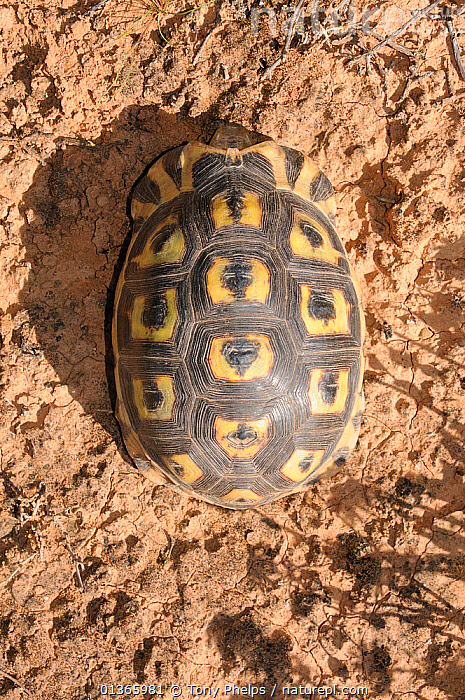 Angulate tortoise (Chersina angulata) adult male, dorsal view of carapace. Oudtshoorn, Little Karoo, Western Cape, South Africa.  ,  AERIAL VIEW,AFRICA,CHELONIA,MALES,PATTERNS,REPTILES,SHELLS,SOUTH AFRICA,SOUTHERN AFRICA,TORTOISES,VERTEBRATES,VERTICAL  ,  Tony Phelps