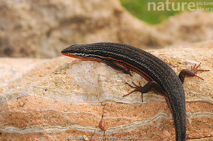 Red sided skink (Trachylepis homacephala) Male, DeHoop Nature Reserve, Western Cape, South Africa  ,  AFRICA,FYNBOS,MALES,PROFILE,RED SIDED,REPTILES,SKINKS,SOUTH AFRICA,SOUTHERN AFRICA,VERTEBRATES  ,  Tony Phelps