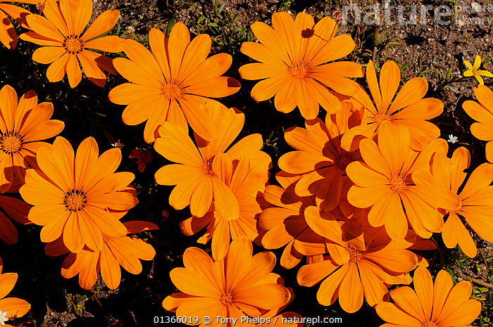 (Gazania species) flowering, DeHoop Nature reserve, Western Cape, South Africa  ,  AFRICA,ASTERACEAE,DICOTYLEDONS,FLOWERING,FLOWERS,FYNBOS,GROUPS,MASS,ORANGE,PLANTS,SOUTH AFRICA,SOUTHERN AFRICA  ,  Tony Phelps