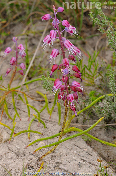 (Lachenalia youngii) in flower, DeHoop Nature Reserve, Western Cape, South Africa  ,  AFRICA,FLOWERS,FYNBOS,LILIACEAE,MONOCOTYLEDONS,PLANTS,SOUTH AFRICA,SOUTHERN AFRICA,VERTICAL  ,  Tony Phelps