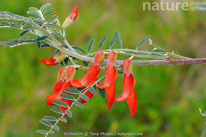 Cancer bush (Lessertia frutescens) in flower, deHoop Nature reserve, Western Cape, South Africa, September  ,  AFRICA,DICOTYLEDONS,FABACEAE,FLOWERS,FYNBOS,PLANTS,RED,RESERVE,SOUTH AFRICA,SOUTHERN AFRICA  ,  Tony Phelps