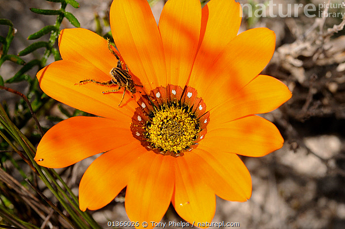 Gousblom (Gazania pectinata) with insect on flower, DeHoop Nature reserve, Western Cape, South Africa  ,  AFRICA,ASTERACEAE,BUGS,CLOSE UPS,DICOTYLEDONS,FLOWERS,FYNBOS,INSECTS,ORANGE,PETAILS,PLANTS,SOUTH AFRICA,SOUTHERN AFRICA,Invertebrates  ,  Tony Phelps