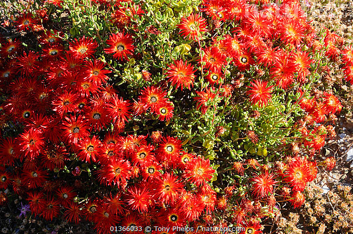 Vygie (Drosanthenum speciosum) Robertson, Western Cape, South Africa, September  ,  AFRICA,AIZOACEAE,DICOTYLEDONS,FLOWERS,ICEPLANTS,PLANTS,RED,RESERVE,SOUTH AFRICA,SOUTHERN AFRICA  ,  Tony Phelps