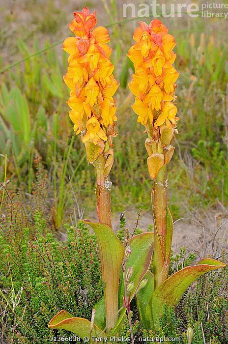 Satyr Orchid, Rooitrewwa (Satyrium corlifolium) DeHoop Nature reserve, Western Cape, South Africa, September  ,  AFRICA,FLOWERS,FYNBOS,MONOCOTYLEDONS,ORCHIDACEAE,ORCHIDS,PLANTS,RESERVE,SOUTH AFRICA,SOUTHERN AFRICA,TWO,VERTICAL,YELLOW  ,  Tony Phelps