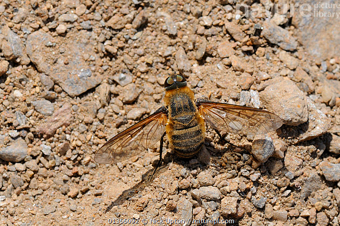 Bee fly (Villa sp) female, collecting sandy soil to coat her eggs with, Samos, Greece, August.  ,  AEGEAN,BEE FLIES,BEHAVIOUR,BOMBYLIIDAE,DIPTERA,EUROPE,FEMALES,GREECE,INSECTS,INVERTEBRATES,ISLANDS,MACRO,MEDITERRANEAN,PORTRAITS  ,  Nick Upton