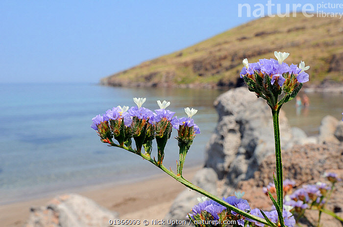 Winged / Wavyleaved sea lavender (Limonium sinuatum) flowering on rocky slope above a beach, with the Aegean Sea in the background, Kalo Limani, Lesbos / Lesvos, Greece, June.  ,  AEGEAN,BEACHES,BLUE,COASTS,DICOTYLEDONS,EUROPE,FLOWERS,HABITAT,ISLANDS,LANDSCAPES,MEDITERRANEAN,PLANTS,PLUMBAGINACEAE,PURPLE,SEA,STATICE,WATER,WIDE ANGLE VIEW  ,  Nick Upton