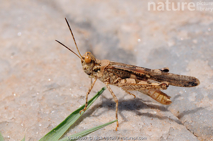 Red-winged sand grasshopper (Acrotylus patruelis) on marble rocks near coast, Samos, Greece, August.  ,  ACRIDIDAE,AEGEAN,ARTHROPODS,BAND WINGED,BROWN,EUROPE,GRASSHOPPERS,GREECE,INSECTS,INVERTEBRATES,ISLANDS,MACRO,MEDITERRANEAN,ORTHOPTERA,PORTRAITS,ROCKS  ,  Nick Upton