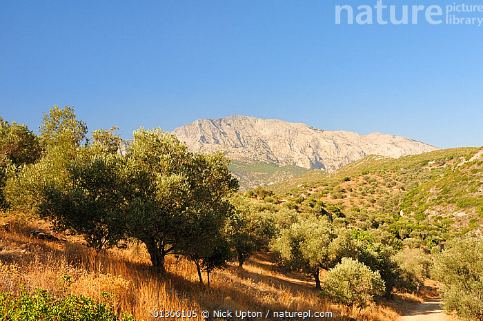 View towards Mount Kerki with olive groves in the foreground, Samos, Greece, August 2011.  ,  AEGEAN,AGRICULTURE,BLUE,EUROPE,FARMLAND,GEOLOGY,GREECE,ISLANDS,LANDSCAPES,MEDITERRANEAN,MOUNTAINS,OLEACEAE,PLANTS,ROCKS,RURAL,SKY,TREES  ,  Nick Upton
