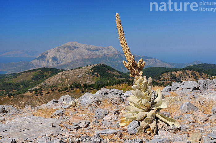 Mullein (Verbascum sp) plants with old flower spikes on bare, rocky summit of Mount Ambelos with Mount Kerki in the background, Samos, Greece, August 2011.  ,  AEGEAN,BLUE,DICOTYLEDONS,EUROPE,FLOWERS,GREECE,HABITAT,ISLANDS,LANDSCAPES,MEDITERRANEAN,MOUNTAINS,PLANTS,ROCKS,SCROPHULARIACAEA,SKY  ,  Nick Upton
