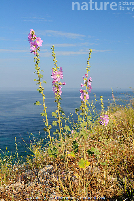 Pale rose / Turkish wild hollyhock (Alcea / Althaea pallida) flowering with the Aegean Sea in the background, near Molyvos, Lesbos / Lesvos Greece, May.  ,  AEGEAN,ALTHAEA,CLIFFS,COASTS,DICOTYLEDONS,EUROPE,FLOWERS,HABITAT,ISLANDS,LANDSCAPES,MALVACEAE,MEDITERRANEAN,PINK,PLANTS,PORTRAITS,PURPLE,SEA,VERTICAL,WIDE ANGLE VIEWS,Geology  ,  Nick Upton