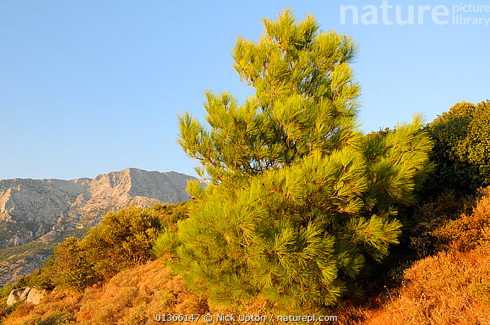 Young Turkish pine tree (Pinus brutia) with bare karst limestone massif of Mount Kerki in the background, Isle of Samos, Greece, August 2011.  ,  AEGEAN,BLUE,BUSHES,CONIFERS,EUROPE,GEOLOGY,GREECE,GYMNOSPERMS,HABITAT,ISLANDS,LANDSCAPES,MEDITERRANEAN,MOUNTAINS,PINACEAE,PINES,PLANTS,SKY,TREES  ,  Nick Upton