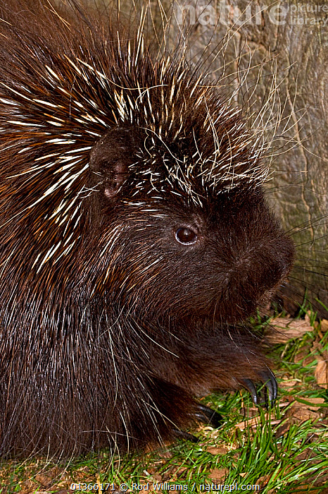 North American Porcupine (Erethizon dorsatum). Captive. Endemic to North America. Captive. UK, May.  ,  MAMMALS,PORCUPINES,PORTRAITS,RODENTS,VERTEBRATES,VERTICAL  ,  Rod Williams