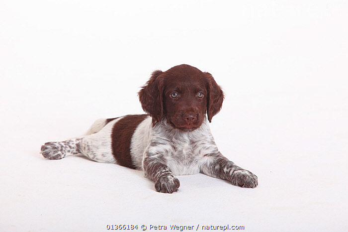 Small Munsterlander puppy, 7 weeks, against white background.  ,  BABIES,CUTE,CUTOUT,DOGS,GUNDOGS,INDOORS,LOOKING AT CAMERA,LYING,MEDIUM DOGS,PETS,PORTRAITS,PUP,PUPPIES,PUPPY,PUPS,STUDIO,VERTEBRATES,WHITE,YOUNG,Canids  ,  Petra Wegner