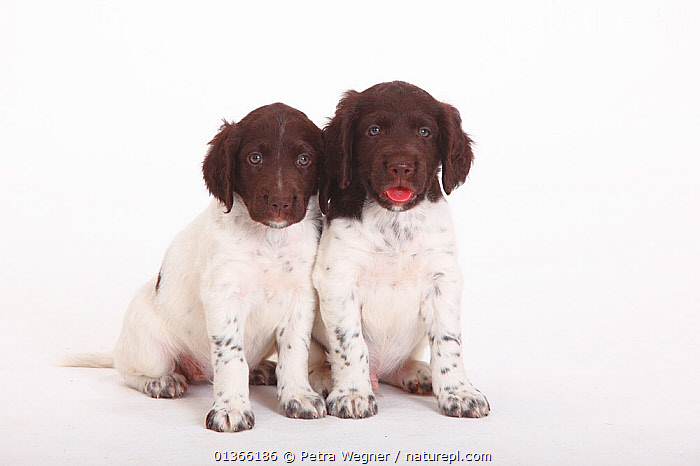 Two Small Munsterlander puppies, 7 weeks, against white background.  ,  BABIES,COLOUR COORDINATED,CUTE,CUTOUT,DOGS,FRIENDS,GROUPS,GUNDOGS,INDOORS,LOOKING AT CAMERA,MEDIUM DOGS,PETS,PORTRAITS,SIBLINGS,SMALL,STUDIO,TWO,VERTEBRATES,WHITE,YOUNG,Canids  ,  Petra Wegner