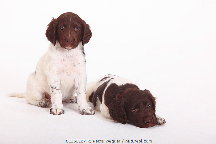 Two Small Munsterlander puppies, 7 weeks, against white background.  ,  BABIES,COLOUR COORDINATED,CUTE,CUTOUT,DOGS,FRIENDS,GROUPS,GUNDOGS,INDOORS,LOOKING AT CAMERA,LYING,MEDIUM DOGS,PETS,PORTRAITS,SITTING,SMALL,STUDIO,TWO,VERTEBRATES,WHITE,YOUNG,Canids  ,  Petra Wegner
