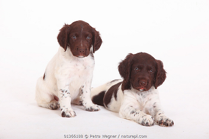 Two Small Munsterlander puppies, 7 weeks, against white background.  ,  BABIES,COLOUR COORDINATED,CUTE,CUTOUT,DOGS,FAMILIES,FRIENDS,GROUPS,GUNDOGS,INDOORS,LOOKING AT CAMERA,LYING,MEDIUM DOGS,PETS,PORTRAITS,SIBLINGS,SITTING,SMALL,STUDIO,TWO,VERTEBRATES,WHITE,YOUNG,Canids  ,  Petra Wegner