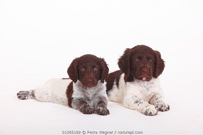 Two Small Munsterlander puppies, 7 weeks, against white background.  ,  BABIES,COLOUR COORDINATED,CUTE,CUTOUT,DOGS,FAMILIES,FRIENDS,GROUPS,GUNDOGS,INDOORS,LOOKING AT CAMERA,LYING,MEDIUM DOGS,PETS,PORTRAITS,SIBLINGS,SMALL,STUDIO,TWO,VERTEBRATES,WHITE,YOUNG,Canids  ,  Petra Wegner