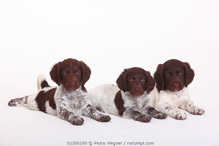 Three Small Munsterlander puppies, 7 weeks, against white background.  ,  BABIES,COLOUR COORDINATED,CUTE,CUTOUT,DOGS,FAMILIES,FRIENDS,GROUPS,GUNDOGS,INDOORS,LOOKING AT CAMERA,LYING,MEDIUM DOGS,PETS,PORTRAITS,SIBLINGS,SMALL,STUDIO,THREE,VERTEBRATES,WHITE,YOUNG,Canids  ,  Petra Wegner