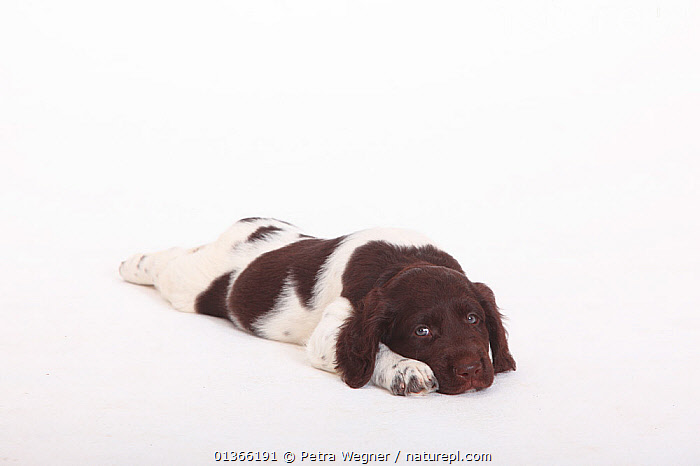 Small Munsterlander puppy, 7 weeks, against white background.  ,  BABIES,CUTE,CUTOUT,DOGS,GUNDOGS,INDOORS,LYING,MEDIUM DOGS,PETS,PORTRAITS,PUP,PUPPIES,PUPPY,PUPS,STUDIO,VERTEBRATES,WHITE,YOUNG,Canids  ,  Petra Wegner